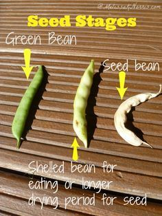 to Save and Store Your Heirloom Garden Seed When bean has reached seed saving stage When bean has reached seed saving stage Fruit Garden, Garden Seeds, Edible Garden, Green Bean Seeds, Green Beans, Organic Gardening, Gardening Tips, Vegetable Gardening, Seed Storage