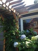 Mount hood hops on trellis husband built + Oregon Hydrangea
