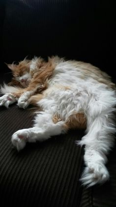 cat ♥ http://www.mainecoonguide.com/male-vs-female-maine-coons/