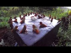 Hummingbird Pool Party Number Five! : Video Clips From The Coolest One