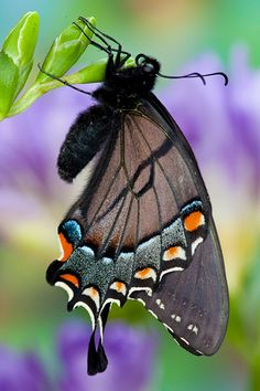 Eastern Tiger Swallowtail black version by Darrel Gulin Photography*
