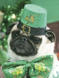 St Pats Day & Pets Images | St. Patrick's Pet Parade Participant #irishdog