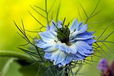 květ černuchy damašské