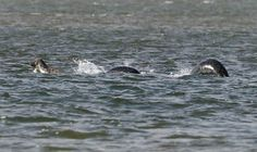 Nessie sighting... or seals? http://www.express.co.uk/news/uk/711291/Loch-Ness-Monster-found-at-last-new-photo