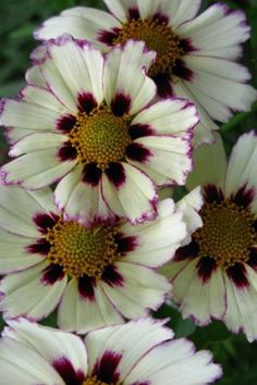 """Coreopsis 'Star Cluster' blooms June - September but cut back after first flowers fade to promote further flowering. plant in full sun in any good garden soil...'Star Cluster' grows about 18"""" tall and wide...hardy zones 5-9"""