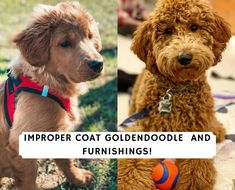 If you have an improper coat Goldendoodle, they won't be nonshedding and hypoallergenic like you see most wavy or curly Goldendoodles. Come learn more! Goldendoodle Breeders, Labradoodle, Goldendoodles, Love Doodles, Hair Shedding, Pet Dander, New Puppy, Fur Babies, Goldendoodle