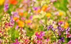 butterfly desktop wallpaper hd pics