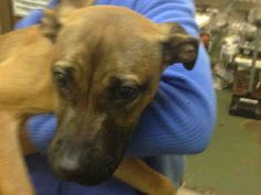 SAFE 04/05/15 by Zani's Furry Friends Pet Rescue --- Manhattan Center  ISADORA - A1031739   FEMALE, TAN, BELG MALINOIS MIX, 6 mos STRAY - STRAY WAIT, NO HOLD Reason STRAY  Intake condition EXAM REQ Intake Date 03/30/2015 https://www.facebook.com/photo.php?fbid=986401418039404