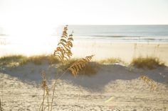 Sea oats on the beach at Palmetto Dunes Oceanfront Resort, Hilton Head Island