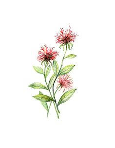 Bee Balm Floral Botanical Print by WatercolorsByMonika on Etsy, $25.00