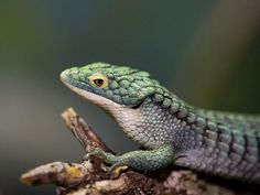 A better photo of these fascinating lizards. These are ideal vivarium subjects due to their environmental needs.