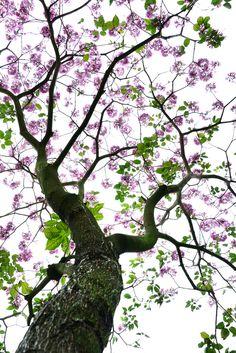 https://flic.kr/p/SUrNCE | Pink Trumpet tree 粉紅風鈴木 | Macau 澳門
