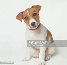 Foto de stock : Jack Russell Puppy