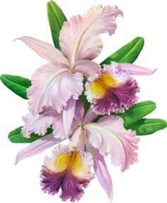 FLEURS ( Orchidées )
