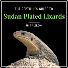 The reptile keeper's ultimate resource on caring for Sudan plated lizards in captivity.