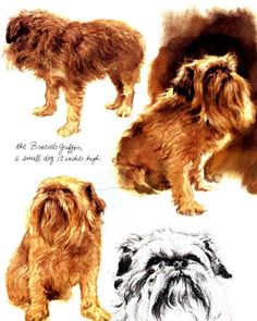 BRUSSELS GRIFFON DOGS OF YESTERYEAR 2ND SERIES 6 NAMED DOG PHOTO TRADE CARDS