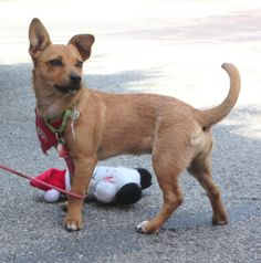 Beautiful Bellini is a playful, Chihuahua/terrier mix puppy who adores people. Other dogs and cats are fine with her, too.