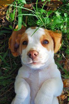 adorable #beagle puppy #beaglepuppy