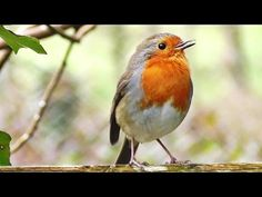 Robin Birds Chirping and Singing - Relaxing Video, Bird Song and Nature Sounds in HD Cute Birds, Small Birds, Common British Birds, European Robin, Robin Redbreast, Bird Gif, Nature Sounds, Bird Wallpaper, Tropical Birds