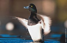 Greater Scaup make extensive flights across the boreal forests of Canada prior to reaching their wintering grounds along the Atlantic coast and the Great Lakes, or migrate offshore from Alaska to their wintering grounds along the Pacific coast. Greater Scaup occasionally are observed during winter in Central America and the Caribbean.