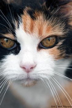 Cat Breeds Archives - Cats In Care Pretty Cats, Beautiful Cats, Animals Beautiful, Cute Animals, Dead Gorgeous, Beautiful Images, Cute Kittens, Cats And Kittens, Cool Cats