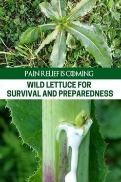 How To Identify and Process Wild Lettuce For Survival and Preparedness