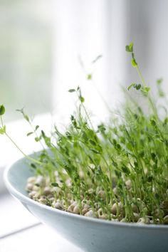 Kasvata versoja | Avotakka