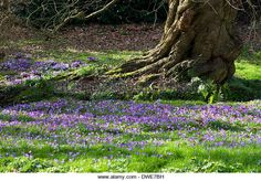 The gnarled trunk of an old tree stands in a lawn planted with naturalized purple crocuses. - Stock Image