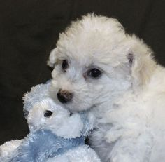 What Are Bichon Frise Puppies Like | Visit if-you-go-away0.blogspot.com