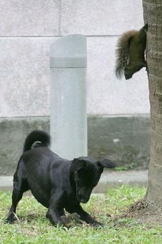 Caccia di branco.  Mentre uno scoiattolo distrae la preda, l'altro prepara l'attacco fatale.