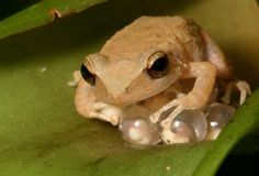 El Coqui ... our little frogs