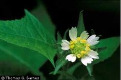 Polymnia canadensis - Whiteflower leafcup