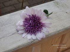 Osteospermum 3D Violet Ice
