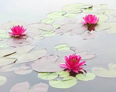 Water Lilies in the Morning - Flowers - Amazing Pictures by Michael Taggart Photography #pond #water #lily
