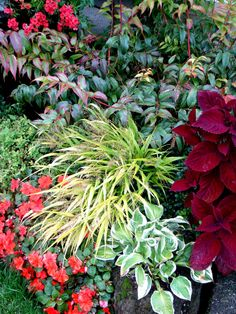 Gardening with foliage ~ Leucothoe 'Rainbow', Hakonechloa 'All Gold' and Coleus 'Big Red Judy'