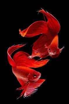 Red Siamese Betta Splendens fish by Subpong Ittitanakui Beautiful Creatures, Animals Beautiful, Cute Animals, Colorful Fish, Tropical Fish, Poisson Combatant, Beta Fish, Siamese Fighting Fish, Beautiful Fish