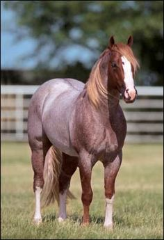 By far, the Red Roan is the most beautiful of all horses. : By far, the Red Roan is the most beautiful of all horses. Horse Photos, Horse Pictures, Most Beautiful Animals, Beautiful Horses, Horses And Dogs, Animals And Pets, American Quarter Horse, Quarter Horses, All About Horses