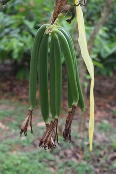 Vanilla Plant, Vanilla Orchid, Grow Vanilla Beans, Permaculture Design Course, Alaskan Bush People, Plant Zones, Cash Crop, Bean Plant, Shade Trees