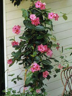 Mandevilla vine on porch with pink flowers