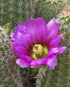 This Echinocereus cactus is blooming along the entrance walkway into the Garden.
