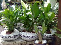 1000 images about plantas on pinterest horta vertical interiors and la paz - Planta cuna de moises ...