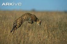 Serval pounching on prey