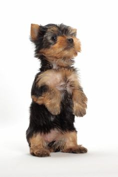 Yorkshire Terrier- this is what my Alfie looked like when he was just weeks… - Belezza,animales , salud animal y mas Rottweiler Puppies, Toy Puppies, Cute Puppies, Dogs And Puppies, Cute Dogs, Beagle, Yorky Terrier, Yorshire Terrier, Bull Terriers