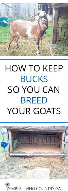 Learn what you need to do to house a buck on your homestead so you can breed your goats. #goat #Breeding #Homestead #Nubian
