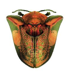 Honey Bee – Print and Color Leaf Beetle, Beetle Insect, Beetle Bug, Weird Insects, Cool Insects, Bugs And Insects, Reptiles, Shield Bugs, Insect Photos