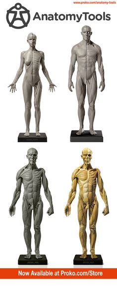 AnatomyTools has the best anatomy sculptures on the market. I use them almost daily as reference for my anatomy course. If you want one, you can get them in the Proko store at proko.com/store