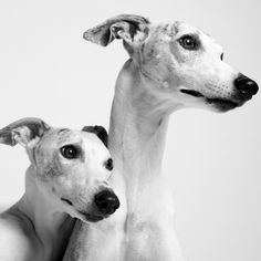 Such sweet dogs! Love my whippet! Whippet love. Photo by Amanda Jones.