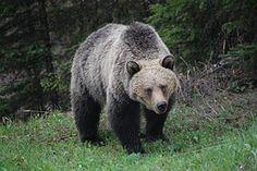 Grizzly, Voľne Žijúcich Živočíchov, Nesú