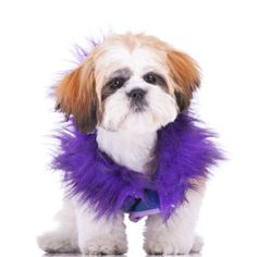Exactly How Many CALORIES A SHIH TZU NEEDS | Information Center