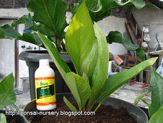 Anthurium Jenmanii Sweet Merapi